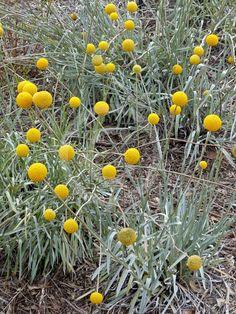 Pycnosorus globosus (billy button) Australian Wildflowers, Australian Native Flowers, Australian Plants, Mediterranean Garden Design, Australian Native Garden, Coastal Gardens, Farm Gardens, Native Plants, Dry Creek