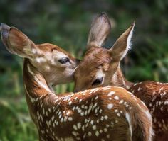 """Un rincón del Paraíso"" - beautiful-wildlife: Fawn Twins by Jeff Graham Forest Animals, Nature Animals, Animals And Pets, Deer Pictures, Animal Pictures, Bambi, Beautiful Creatures, Animals Beautiful, Beautiful Beautiful"