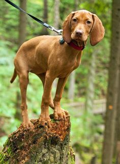 Whiskey the Vizsla showing a cat-like ability to stand almost anywhere!