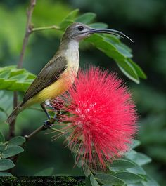 Little Spiderhunter, 11 species found in the forests of south & southeastern Asia