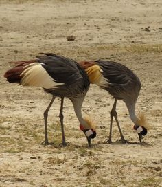 Picture of a pair of African grey crowned cranes.