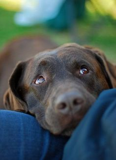 Mind Blowing Facts About Labrador Retrievers And Ideas. Amazing Facts About Labrador Retrievers And Ideas. Love My Dog, Puppy Love, Cute Puppies, Cute Dogs, Dogs And Puppies, Doggies, Labrador Yellow, Animals And Pets, Cute Animals
