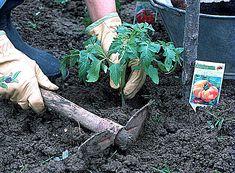 Comment planter des tomates dans son potager ? Les explications en vidéo d'Hubert le jardinier.