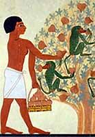 Ancient Egyptian gathering figs