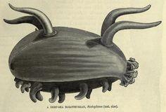 Scotoplane or Sea PigThe Royal Natural History - Vol IV. Richard Lydekker, 1896.
