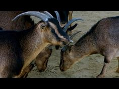 National Geographic: Why Do Goat Eyes Rotate? | Explorer