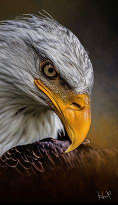 eagle owls of paradise birds The Eagles, Bald Eagles, Eagle Images, Eagle Pictures, Eagle Wallpaper, Animal Wallpaper, Nature Animals, Animals And Pets, Cute Animals