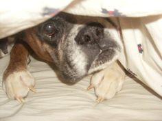 Boxer peek-a-boo