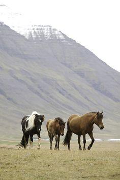 Horse gathering - Laufskálarétt | Flickr