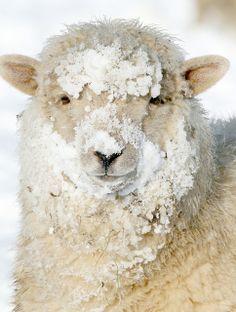 The winter sheep who has been having fun in the snow. (Photo by Jim Higham) Alpacas, Cute Baby Animals, Farm Animals, Beautiful Creatures, Animals Beautiful, Wooly Bully, Baa Baa Black Sheep, I Love Winter, Winter Snow