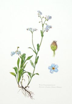 1957 woodland forget me not botanical print  by PaperThesaurus