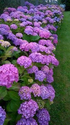 All Things Shabby and Beautiful Exotic Plants, Exotic Flowers, Amazing Flowers, Purple Flowers, Beautiful Flowers, Hortensia Hydrangea, Hydrangea Garden, Hydrangea Flower, Plantas Bonsai