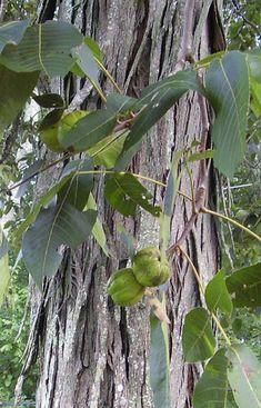 shagbark hickory nut | Shagbark hickory nuts (Recipe: maple nut cookies)