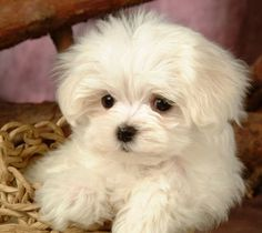 Maltese puppy--this is what I want now, maybe a male to mate with my yorkie White Puppies, Fluffy Puppies, Super Cute Puppies, Cute Dogs, Adorable Puppies, Puppy Pictures, Animal Pictures, Puppy Images, Free Pictures