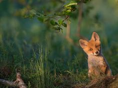 A fox kit emerges from its den in southern Estonia in this National Geographic Photo of the Day.
