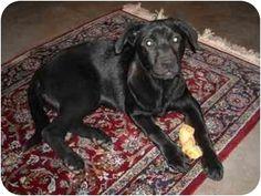 Pearland, TX - Labrador Retriever Mix. Meet Lula a Dog for Adoption  w/ the Pup Squad Animal Rescuekathypupsquad@aol.com