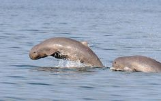 Irrawaddy Dolphin: The Irrawaddy dolphin is similar to the beluga in appearance, though most closely related to the killer whale. Irrawaddy dolphins have a seemingly mutualistic relationship of co-operative fishing with traditional fishers. Fishers in India recall when they would call out to the dolphins, to drive fish into their nets.