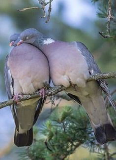 One of my favourites are wood pigeons. They are docile and mate for life. Did you know they also drink through their beaks like straws? No other bird does that! (Only the pigeon family)