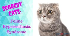 Feline Hyperesthesia Syndrome, a rare disorder that affects cats, causes bizarre and frustrating symptoms in its sufferers. Cat Hug, Dog Cat, Cats And Cucumbers, Cute Cats Photos, Clumping Cat Litter, Cat Hacks, Cat Drinking, Cat Whiskers, Yellow Cat
