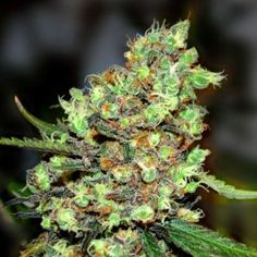 Skunk Feminized Seeds from Labs now at SeedSupreme. Buy this Mostly Sativa strain with High THC levels and Low CBD. Grows from cannabis s Buy Cannabis Seeds, Weed Seeds, Cannabis Oil, Buy Cannabis Online, Buy Weed Online, Cbd Oil For Sale, Seed Bank, Marijuana Plants, Medical Marijuana