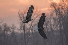 These adult American Bald Eagles were fighting over a fish and the one with the fish ended up drooping it. The sun was just rising and the red glow can be seen on the fish. Bald Eagles, Fly Fishing, Hawaii, Cute Animals, Glow, Sun, Bird, Wall Art, American