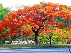 I have never seen a plant so aptly named as the Flamboyant Tree. Even in the colorful world of tropical plants, the Delonix regia stands out as particularly colorful and eyecatching. Maputo, Tropical Plants, Tropical Flowers, Delonix Regia, Flame Tree, Natural Homes, Flamenco Dancers, Unique Trees, Nature Plants