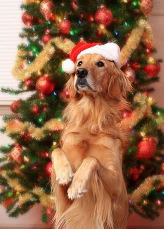 "Merry Golden From your friends at phoenix dog in home dog training""k9katelynn"" see more about Scottsdale dog training at k9katelynn.com! Pinterest with over 18,000 followers! Google plus with over 119,000 views! You tube with over 350 videos and 50,000 views!!"