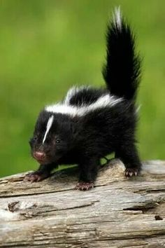 Ok im in love with this wittle baby skunk!