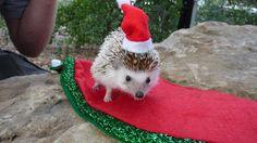 Flynn the Hedgehog