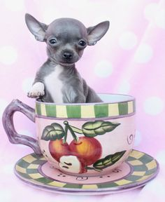 Chihuahua Puppy by teacupspuppies.com
