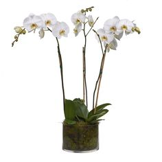 Bloom'd phalaenopsis orchid