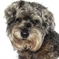 Adopt A Pet :: Poppie - oakland park, FL
