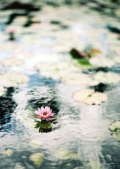 "for the love of water lilies"" photo by Alice Gao"
