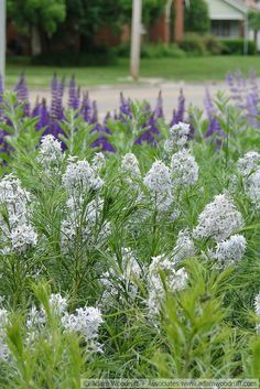 [Amsonia hubrichtii with Salvia 'May Night']  Cannot wait until the Amsonia comes up this summer!