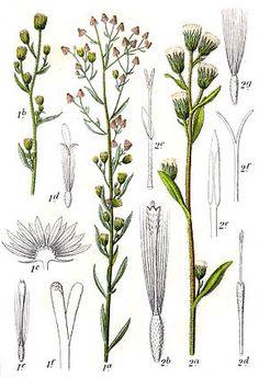 La Vergerette annuelle (Erigeron annuus) est une plante herbacée de la famille des Astéracées.  Originaire d'Amérique du Nord, elle est maintenant largement répandue en Europe où elle est considérée comme espèce invasive.