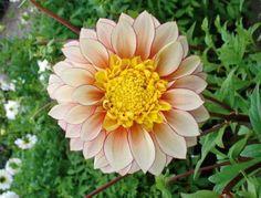 dahlia cactus source jolie fleur : le dahlia - l'atelier des