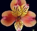 http://www.sierraflowerfinder.com/en/f/alstromeria/1?page=2