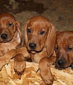 My future puppy - Redbone Coonhound