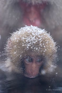 Japanese Macaque baby in the hot spring near Nagano, Japan