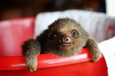 Tiny Sloth-his eyes are so cute. Probably the only time a sloth appears adorable Cute Baby Sloths, Cute Sloth, Cute Baby Animals, Funny Animals, Crazy Animals, Wild Animals, Cute Creatures, Beautiful Creatures, Animals Beautiful