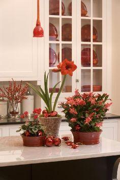 Christmas plants