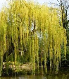 My sisters and I spent hours playing under my grandparents weeping willow tree