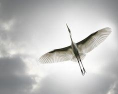 Blue Bird Flying Tattoo Wings 38 Ideas For 2019 Love Birds, Beautiful Birds, Small Birds, Funny Bird, Crane Tattoo, Flying Tattoo, Grey Skies, Tier Fotos, Mundo Animal