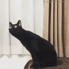 A Massive Black Cat Compilation - World's largest collection of cat memes and other animals Funny Animal Memes, Funny Animal Pictures, Funny Cats, Funny Animals, Cute Animals, Grumpy Cats, Animal Jokes, Sports Pictures, Cute Kittens