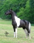 McCarthys Hershey Swirl  AMHA, AMHR Multi National Champion Halter Stallion Jointly owned by Vanity Grove Farm and Hopkins Heavensent Miniatures