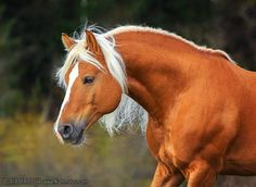Haflinger stallion Антарес (Antares)