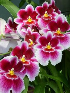 Miltoniopsis, The Pansy Orchid                                                                                                                                                      More
