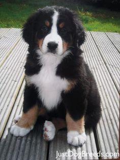 Bernise Mountain Puppy