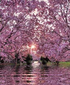 Cherry tree reflection