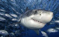 Ο λευκός καρχαρίας, γνωστός και ως σπρίλλιος, μεγάλος λευκός, λευκός θάνατος ή και σκέτο καρχαρίας, είναι ένας εξαιρετικά μεγάλος καρχαρίας που βρίσκεται στα παράκτια νερά κοντά στην επιφάνεια σε όλους τους σημαντικούς ωκεανούς.